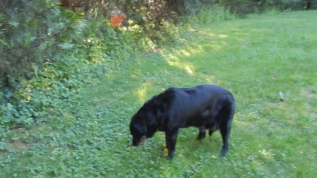Sadie goes on a  walk about on day 8 of her natural healing oil- NO BRACES June 28 2019