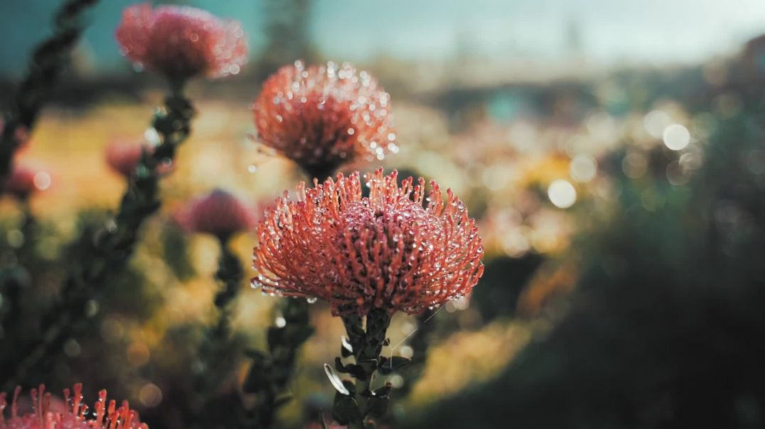 Close Up Video of Dew Covered Rata Flower