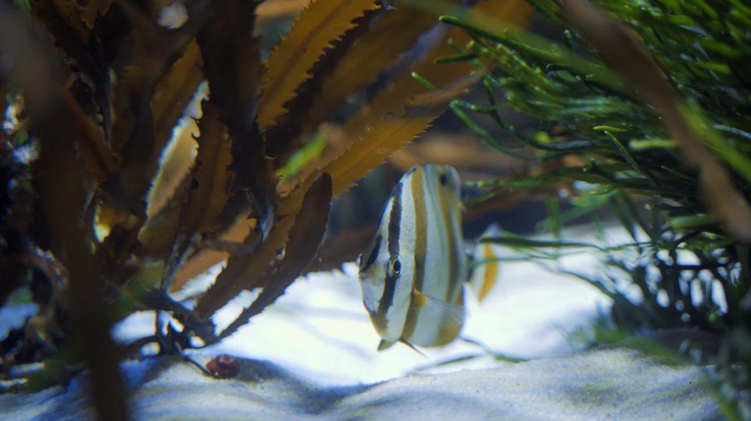 Butterfly Fish Hiding Under Sea Plants