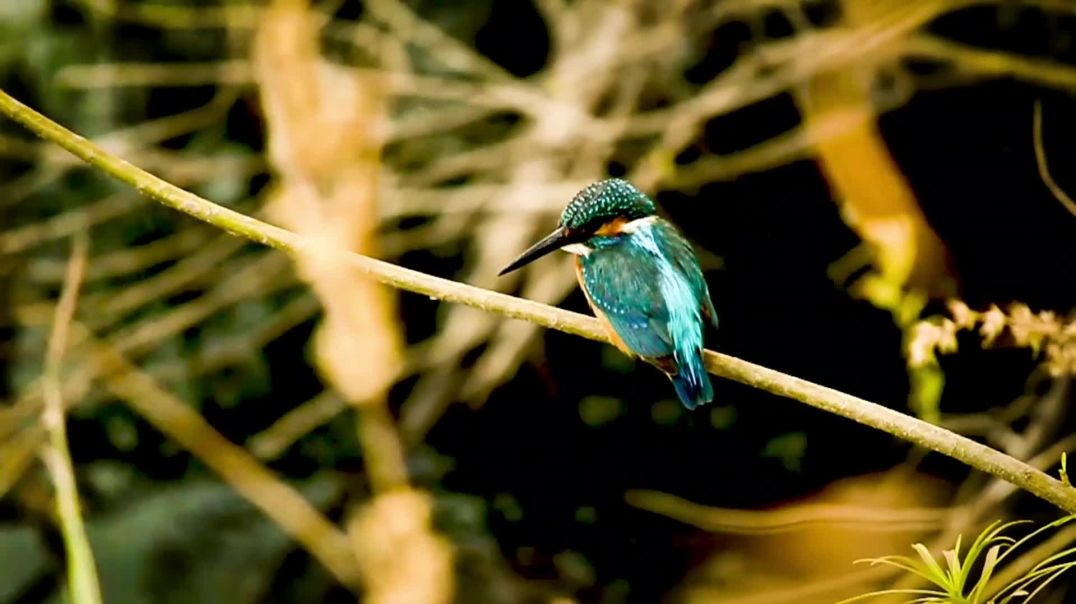 Kingfisher Sitting on a Tree Branch