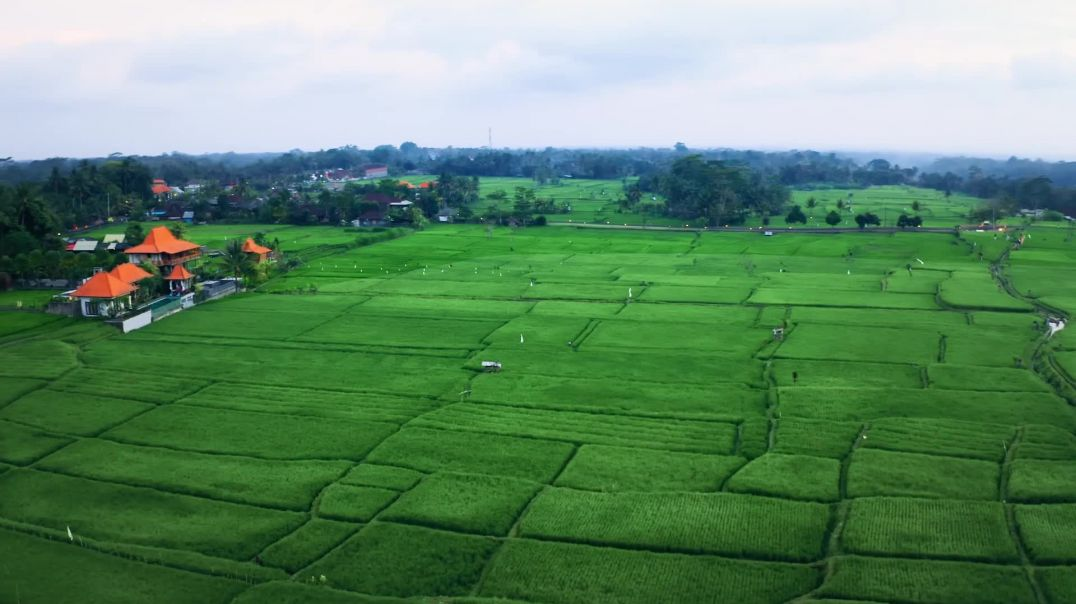 Drone Footage Of Rice Field Plantation
