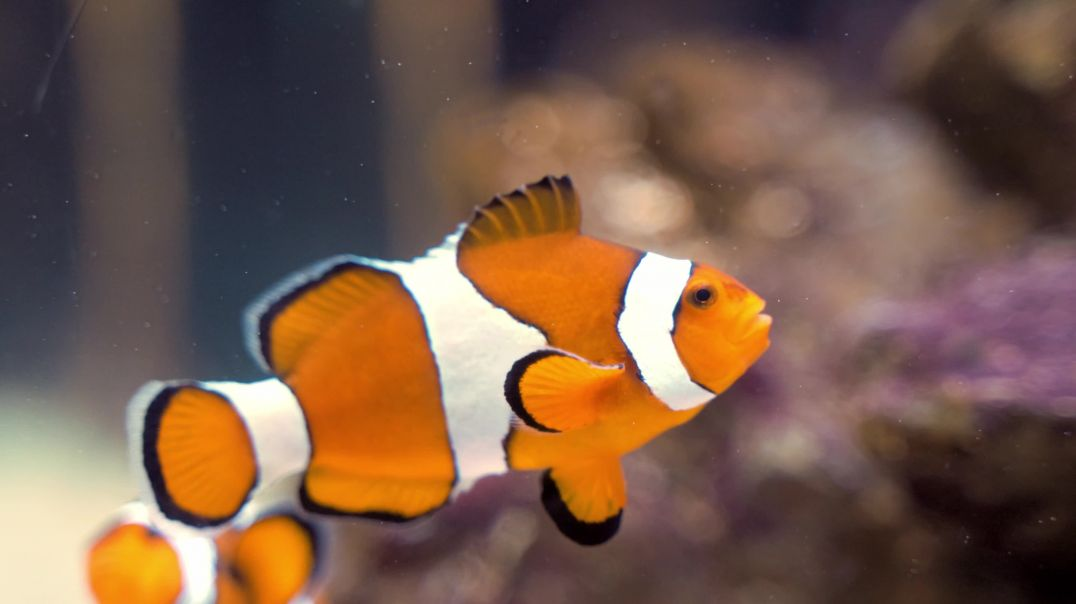 Close-up Footage Of A Clown Fish