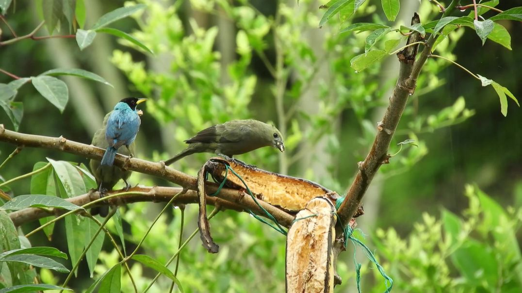 Colorful Birds Eating Fruit