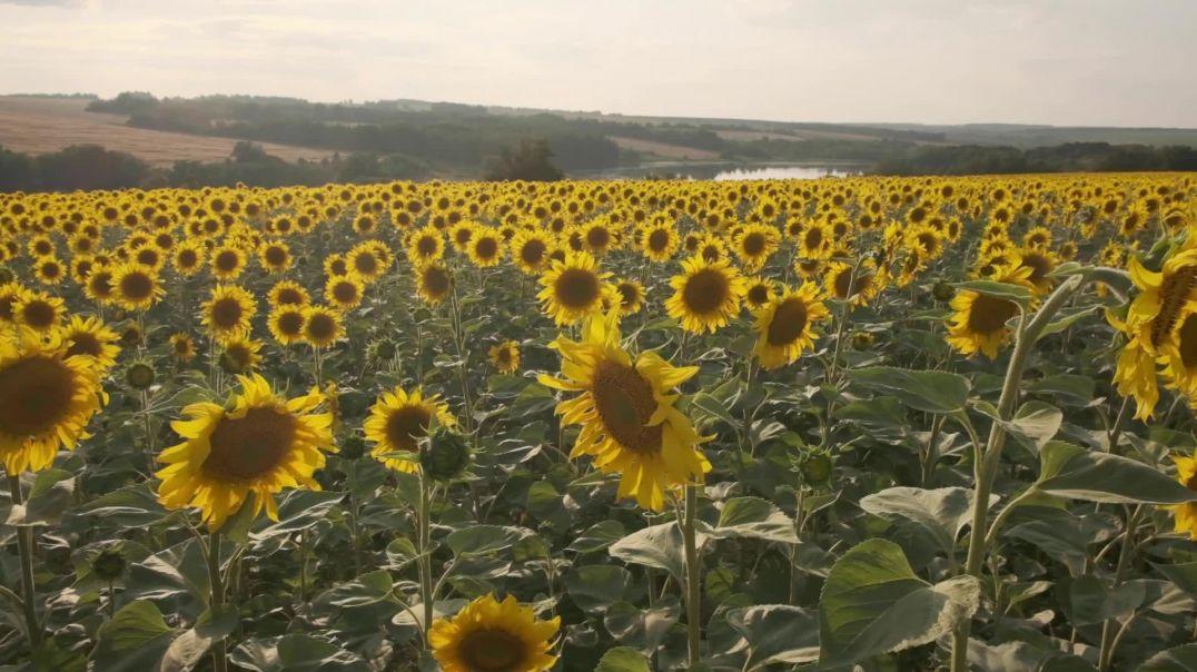 Beautiful View of The Golden Sunflower Fields