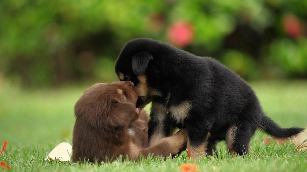 Puppies - 69168