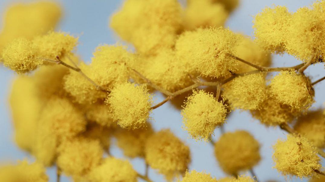 Close-up of a Yellow Fuzzy Flower